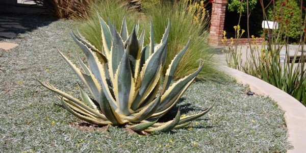drought-tolerant-plants_4-a